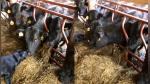 Perro lame narices de vacas y se roba los corazones de todos en Facebook - Noticias de video