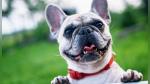 El adorable berrinche de una bulldog francés para que la dejen subir a un sillón - Noticias de amistosos