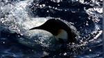 Pingüinos dan la bienvenida a rompehielos de investigación en la Antártida - Noticias de antártida