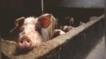 Facebook viral: Cerdo no quería ser la cena de Navidad de nadie y escapa de corral | VIDEO - Noticias de supermercados