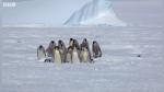 """Pingüinos enfrentan a ave depredadora usando una """"falange espartana"""" - Noticias de antártida"""