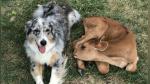 Perro se vuelve el mejor amigo de un becerro asustado y su historia conmueve a todos - Noticias de the guardian