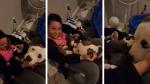 Pitbull abandonada le demuestra a cuidadora cuánto confía en ella encargándole a sus cachorros - Noticias de segura