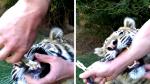 Le saca un diente a un tigre usando solo unas pinzas y vive para contarlo - Noticias de sudáfrica
