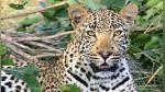 Tejón se enfrenta a un leopardo que estaba por devorar a su cría y el desenlace deja boquiabiertos a todos - Noticias de sudáfrica