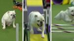 Perezoso' bulldog sorprende a todos con su agilidad en concurso de velocidad - Noticias de inglaterra