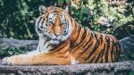 Se meten a una casa para fumar marihuana y se topan cara a cara con un tigre - Noticias de tigres