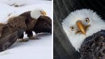 Águila calva herida fue salvada con una red, una jaula para perros y un trineo - Noticias de vida sana