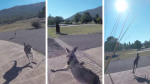 El curioso ataque de un canguro a un paracaidista en pleno aterrizaje - Noticias de hugo llanos mansilla