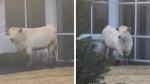 Vaca huye de la policía, paraliza el tráfico y visita un local de comida rápida - Noticias de curiosidades