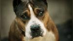 Una perrita asiste como testigo en el juicio por maltrato animal contra su antiguo dueño - Noticias de pitbull