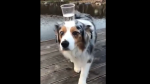 Perro demuestra tener un equilibrio perfecto y asombra a cientos de personas - Noticias de maltrato animal