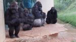 Los divertidos intentos de unos gorilas para no mojarse con la lluvia - Noticias de muro