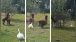 La pelea entre dos llamas que fue detenida por un ganso con poca paciencia - Noticias de curiosidades