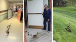 """Una mamá pata y sus crías recién nacidas """"desfilan"""" por un asilo de ancianos cada primavera - Noticias de trabajadores"""