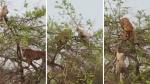 Tigre intentó atrapar a un mono en lo alto de un árbol pero acabó pasándola muy mal - Noticias de viejos amigos