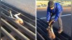 Un padre y sus hijos ayudan a un canguro en aprietos en Australia - Noticias de