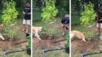 """Una perrita sorprende por sus habilidades """"naturales"""" para la jardinería - Noticias de jardinería"""