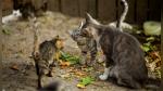 ¿Cómo se llaman y qué significan estos siete sonidos distintivos de los gatos? - Noticias de colo colo