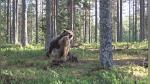 """Fotógrafo graba la que ha sido considerada """"la mejor pelea de osos de la historia"""" - Noticias de national geographic"""