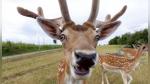 Un ciervo sorprende a veraneantes que disfrutaban de un día de playa - Noticias de curiosidades