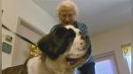Un enorme perro se hace amigo de una adorable anciana y la visita todos los días para pasar juntos el rato - Noticias de perros