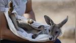 Khya, la canguro bebé que perdió a su mamá y ahora es criada por veterinaria de zoológico - Noticias de suelos
