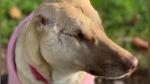 Maggie, la perra abandonada con 17 heridas de bala que ahora es mascota de terapia e influencer - Noticias de embarazada