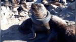 El dramático rescate de un lobo marino con un neumático atorado en el cuello - Noticias de exito