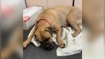 Una perrita recorrió más de 200 kilómetros a través de la Siberia para volver con su dueña que la rechazó - Noticias de los perros hambrientos