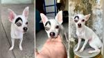 Lucky, el diminuto perro que conquista al Internet con su peculiar apariencia - Noticias de video destacado