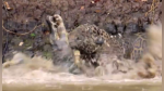 Jaguar y caimán se enfrentan en un duelo a muerte en el agua - Noticias de agua