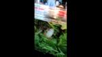 Familia encuentra una rana viva dentro de un paquete de ensalada del supermercado - Noticias de animales