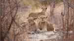 Un guía de safari casi paga cara su distracción al caminar por error hacia una manada de leones - Noticias de leones