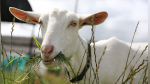 Un hombre revive a una cabra haciéndole respiración boca a boca y se vuelve viral - Noticias de