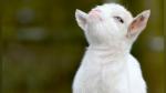 La curiosa (y divertida) conversación entre una pequeña y una cabra bebé - Noticias de animales curiosos