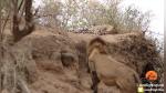 León se acercó sigilosamente a leopardo que descansaba plácidamente para atacarlo - Noticias de leones