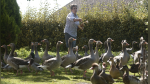 Denuncian a cincuenta patos y gansos por graznar demasiado fuerte - Noticias de facebook parejas