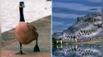 Patos irrumpen en campo de golf para ahuyentar a un caimán - Noticias de the economist