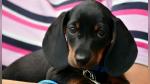 La curiosa reacción al intentar quitarle su chupón a un perro que se cree un bebé - Noticias de mujer