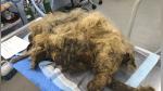 Cortan más de 4 kilos de pelo a un perro sin hogar y el cambio es brutal - Noticias de viral
