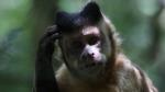 Mono aprende a la mala a no robar bananas de la boca de un orangután - Noticias de viral